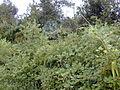 Starr 011205-0077 Rubus ellipticus.jpg