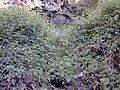 Starr 020221-0049 Rubus glaucus.jpg