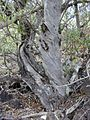 Starr 030202-0082 Myoporum sandwicense.jpg