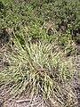 Starr 030625-0012 Cyperus javanicus.jpg