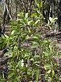 Starr 031013-0007 Acacia auriculiformis.jpg