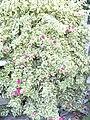 Starr 031108-0127 Bougainvillea spectabilis.jpg