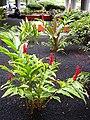 Starr 031118-0024 Alpinia purpurata.jpg