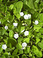 Starr 040125-0121 Jacquemontia ovalifolia subsp. sandwicensis.jpg