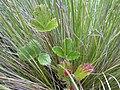 Starr 041006-0319 Fragaria chiloensis subsp. sandwicensis.jpg