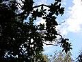 Starr 050107-2852 Pisonia umbellifera.jpg