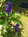 Starr 060905-8754 Dichorisandra thyrsiflora.jpg