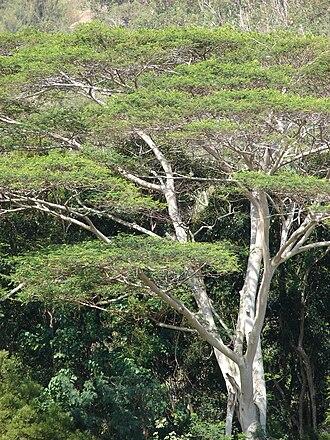 Correct name - Linnaeus' Adenanthera falcataria has many other names
