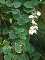 Starr 070405-6815 Thunbergia grandiflora.jpg