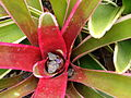 Starr 070730-7777 Unknown bromeliaceae.jpg