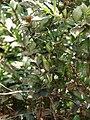 Starr 070822-8133 Myrtus communis.jpg