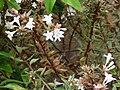 Starr 070906-8956 Abelia x grandiflora.jpg
