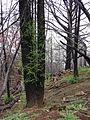 Starr 070908-9131 Sequoia sempervirens.jpg
