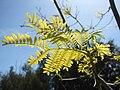 Starr 080604-6251 Leucaena leucocephala.jpg