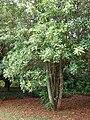 Starr 080715-9219 Macadamia integrifolia.jpg