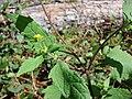 Starr 090121-1042 Sigesbeckia orientalis.jpg