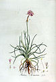 Statice armeria — Flora Batava — Volume v3.jpg