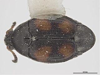 <i>Stator</i> (genus) Genus of beetles