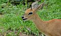 Steenbok (Raphicerus campestris) male (6001250247).jpg
