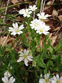 Stellaria nemorum 01012005