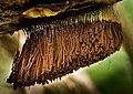 Stemonitis axifera (Bull).T. Macbr 317957.jpg