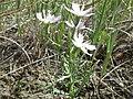 Stephanomeria runcinata (7491037698).jpg