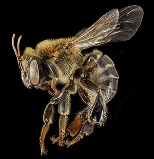 Melipona - Image: Stingless bee 3, f, side, peru 2014 07 30 13.17.15 ZS P Max (15839098322)