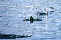 Stone skimming -Patagonia-9Mar2010.jpg