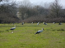 Several black and white birds with long red legs and long red beaks walk in a green grassy area.