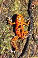 Strawberry poison-dart frog transporting the tadpoles (9464704765).jpg