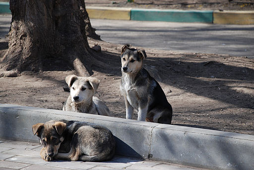 Stray dogs-pups