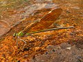 Stream Glory Female from Valparai Anamalai hills P1120035.JPG