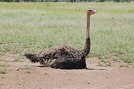 Struthio camelus -Serengeti, Tanzania -female on nest-8