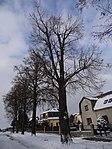 Suchdol - stromořadí lip srdčitých v Gagarinově ulici na Budovci (14).jpg