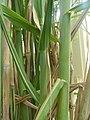 Sugar cane plant.jpg