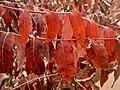 Sumac leaves^ Red Rock State Park, near Sedona - Flickr - Pete Tillman.jpg
