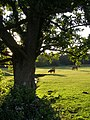 Summer evening sunlight at Longwater Lawn, New Forest - geograph.org.uk - 493202.jpg