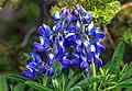 Sun peaks alpine flowers in full bloom.Arctic Lupine (Lupinus arcticus). (19596677826).jpg