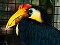 Sunda Wrinkled Hornbill.jpg