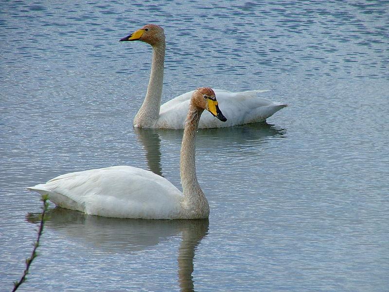 Kuğu resimleri-Kuğu fotoğrafları(çok güzel)