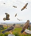 Swainson's Hawk - ad darker From The Crossley ID Guide Raptors.jpg