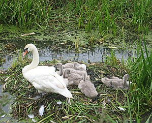 River Parrett Trail - Image: Swan Andcygnets