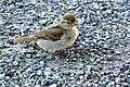 Switzerland-03341 - Sparrow (23474694319).jpg