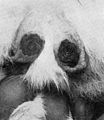 Sypnilitic sores on scrotum of a rabbit. Wellcome M0009985EA.jpg