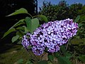 Syringa vulgaris Hugo de Vries 2016-05-20 0924.jpg