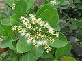 Syzygium caryophyllatum - South Indian Plum at Mayyil (6).jpg