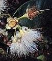 Syzygium mundagam 17.JPG