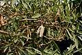 Tabebuia aurea (Caribbean Trumpet Tree) with a dried fruit W IMG 8180.jpg