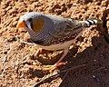 Taeniopygia guttata -Karratha, Pilbara, Western Australia, Australia -male-8 (1).jpg
