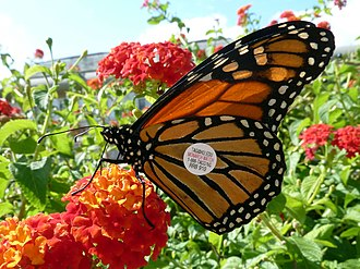 Lepidoptera migration - Monarch butterfly tagged to track its migration